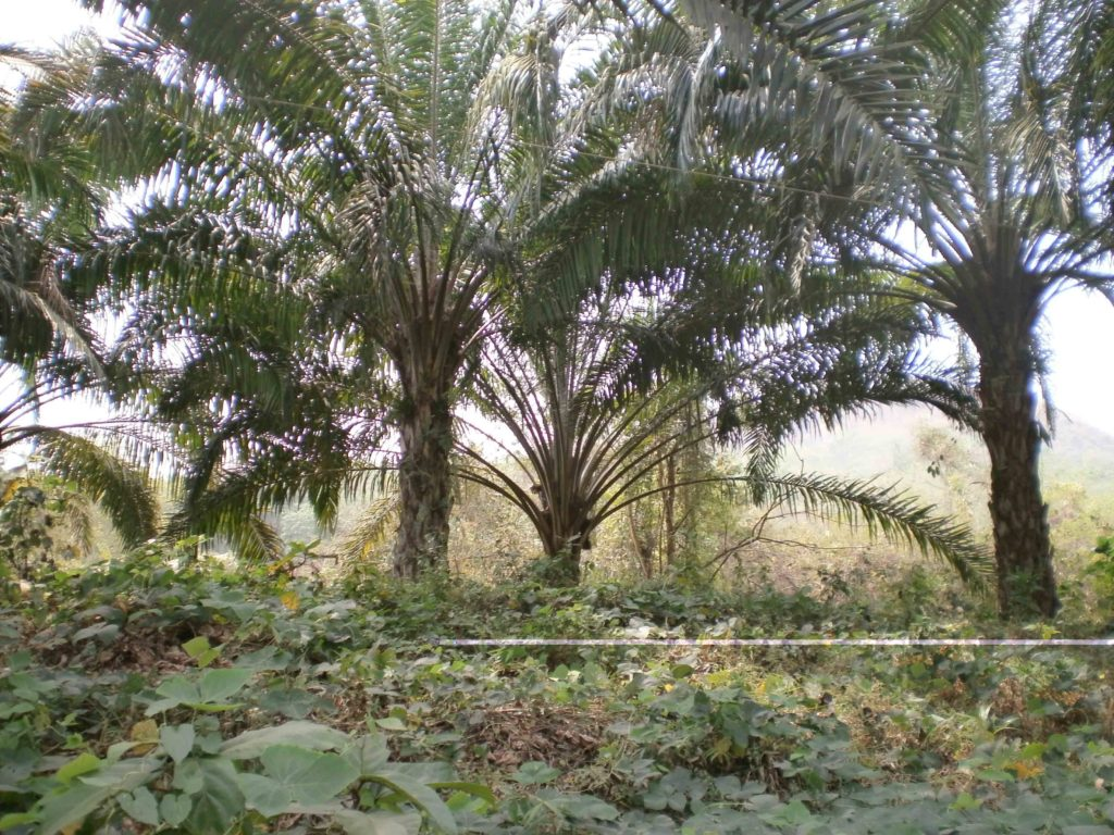 country heights growers scheme palm oil cryptocurrency horse coin